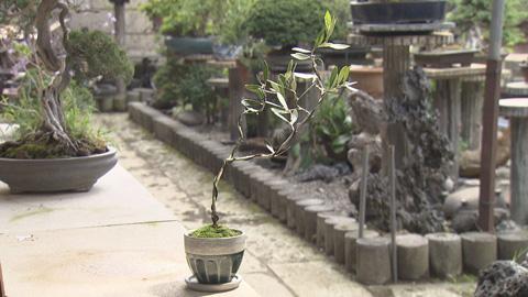 水越作オリーブ盆栽