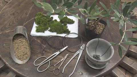 オリーブ盆栽の材料