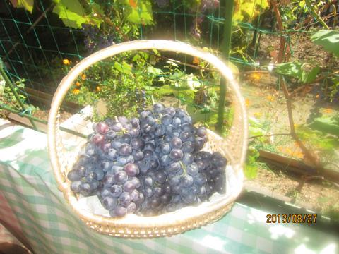 葡萄も収穫!