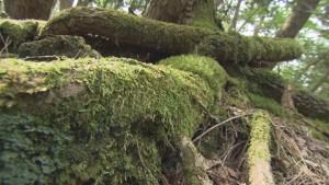 樹海4(地を這う木の根)