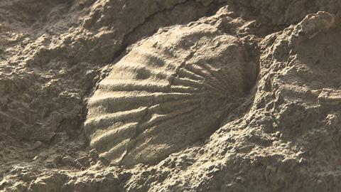 51貝の化石